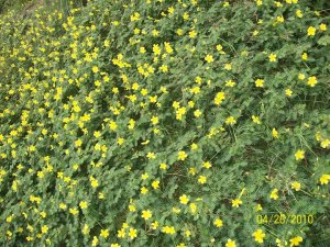 These tiny yellow flowers abound in the sidewalks..lovely to behold.