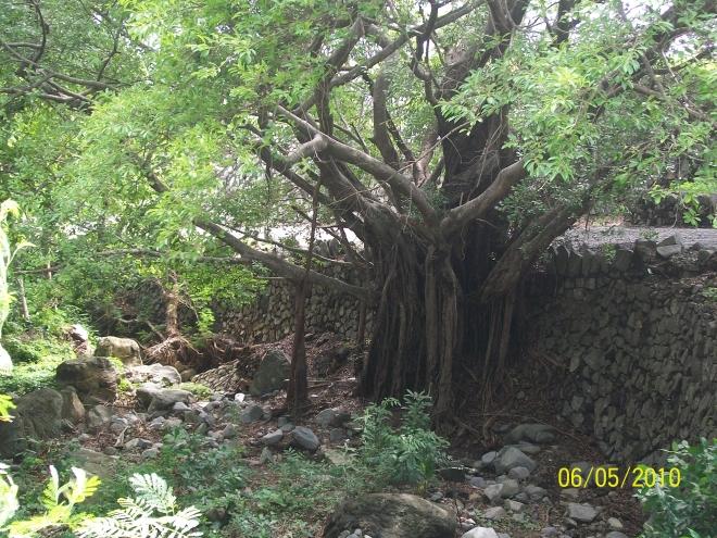 giant tree 2