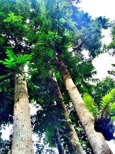 big trees tesoros