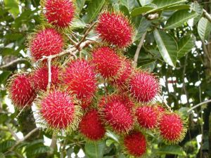 Courtesy of: http://organicpilinuts.com/rambutan-fruit-health-benefits-videos/