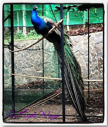 peacock fr cintai